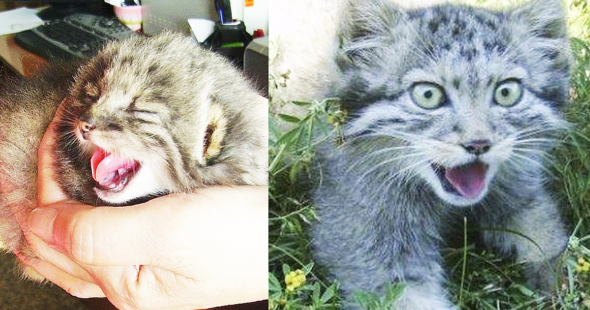 Russian Farmer Rescues Four Abandoned Kittens But Upon Closer Inspection Realizes They're Not Kittens At All